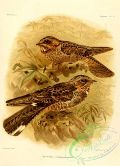nightjars-00025 - Madagascar Nightjar