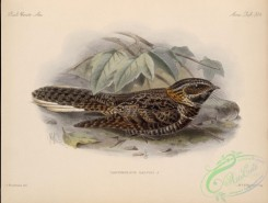 nightjars-00040 - Tawny-collared Nightjar