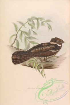 nightjars-00080 - 016-Malaysian Eared-Nightjar, lyncornis temminckii