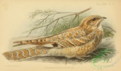 nightjars-00090 - Golden Nightjar