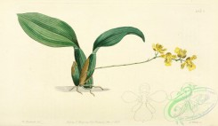 oncidium-00041 - 1542-oncidium cornigerum, Horned Oncidium