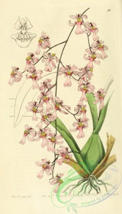 oncidium-00078 - 010-oncidium ornithorhynchum, Bird-billed Oncidium