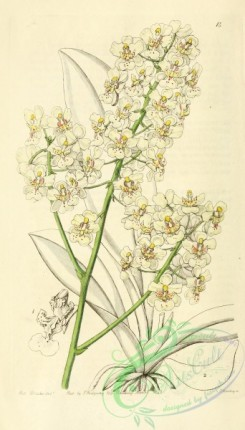 oncidium-00079 - 014-oncidium stramineum, Straw-coloured Oncidium