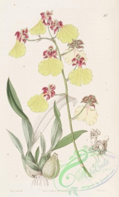 oncidium-00086 - 040-oncidium spilopterum, Spot-winged Oncidium