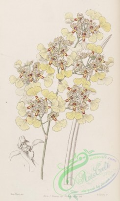 oncidium-00088 - 027-oncidium lacerum, Cut-lipped Oncidium