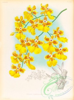oncidium-00284 - oncidium marshallianum