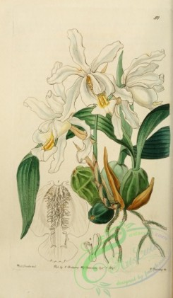 orchids-03964 - 057-coelogyne cristata, Crested Coelogyne [2068x3549]