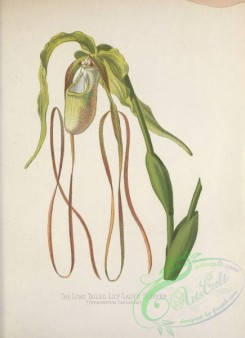 orchids-04698 - Long tailed Lily Lady's Slipper, cypripedium candatum [3262x4499]