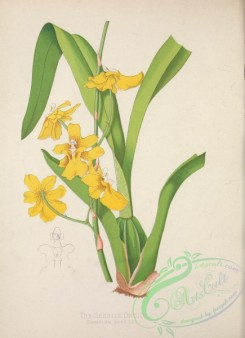 orchids-04757 - Sessile Oncid, oncidium sessile [3170x4365]