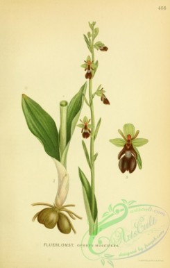 orchids-04798 - ophrys muscifera [2193x3452]