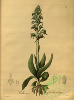 orchids-04890 - chloraea cylindrostachya [4010x5431]