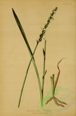 orchids-05116 - Drooping-flowered Ladies' Traces, spiranthes cernua [2566x3880]