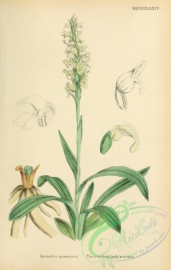 orchids-05404 - Three-ranked Lady's-tresses, spiranthes gemmipara [1745x2748]