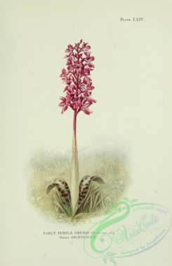 orchids-05455 - Early Purple Orchis, orchis mascula [2058x3186]