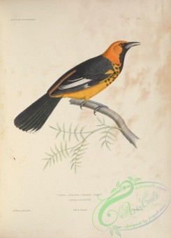 orioles-00015 - Spot-breasted Oriole