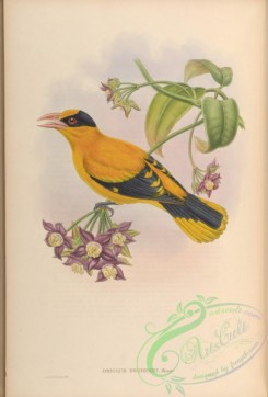 orioles-00029 - Broderip's Oriole
