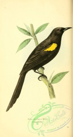 orioles-00066 - Yellow shouldered Oriole