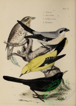 orioles-00112 - Redwing, Grey Shrike, Golden Oriole, Blackbird