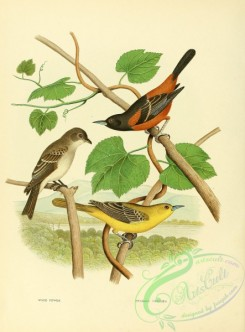 orioles-00149 - Wood Pewee, Orchard Oriole