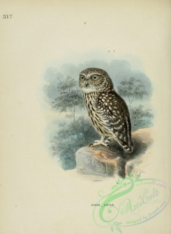 owls-00028 - Little Owl