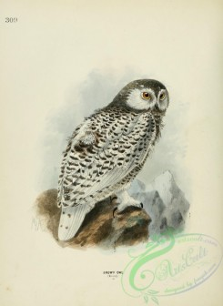 owls-00032 - SNOWY OWL (Young)