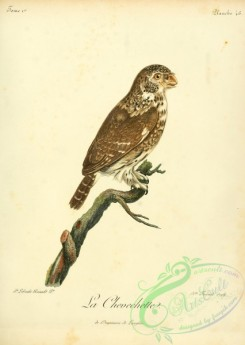 owls-00069 - Pearl-spotted owlet