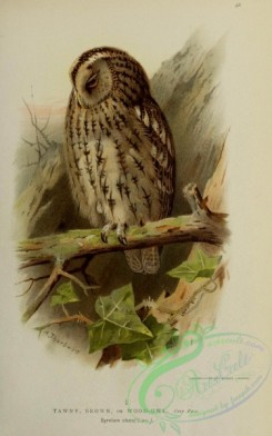 owls-00075 - 021-TAWNY, BROWN, or WOOD-OWL