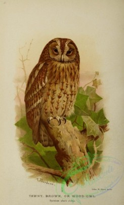 owls-00081 - 045-TAWNY, BROWN, OR WOOD-OWL