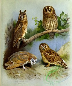 owls-00085 - Long-eared Owl, Barn-Owl, Tawny Owl, Short-eared Owl