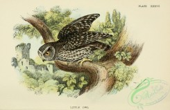 owls-00089 - Little Owl