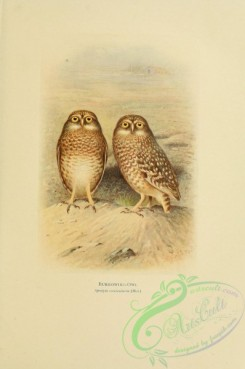 owls-00093 - Burrowing-Owl, speotyto cunicularia
