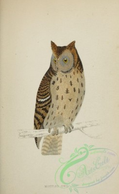 owls-00116 - Mottled Owl