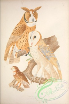 owls-00123 - 021-otus clamator, Pearl-spotted Owlet, strix pumila
