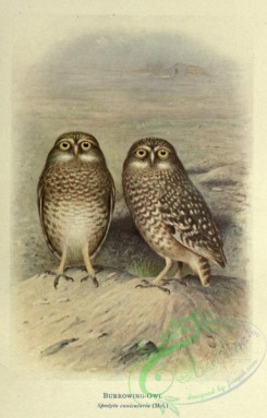 owls-00181 - Burrowing-Owl, speotyto cunicularia