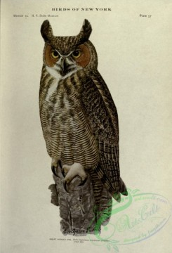 owls-00183 - Great Horned Owl