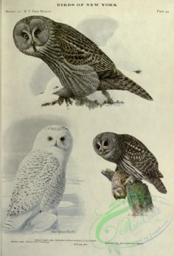 owls-00185 - Snowy Owl, Great Gray Owl, Barred Owl
