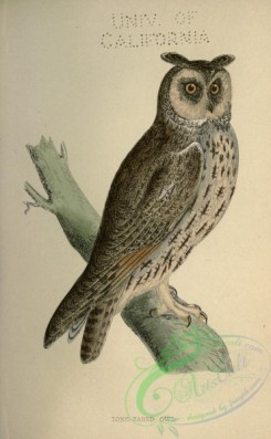 owls-00190 - Long-eared Owl