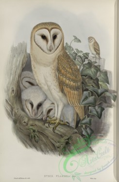 owls-00199 - 258-Strix flammea, Barn-Owl