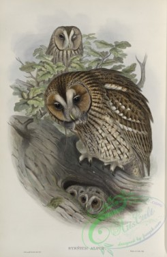owls-00200 - 259-Syrnium aluco, Tawny or Brown Owl