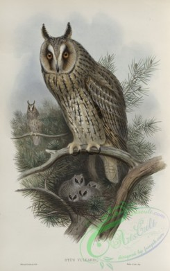 owls-00202 - 261-Otus vulgris, Long-eared Owl