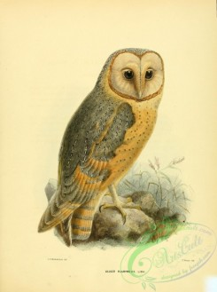 owls-00221 - Barn Owl