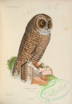 owls-00251 - Rufous-legged Owl