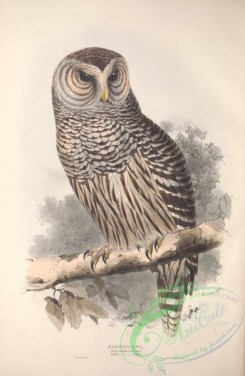owls-00261 - Barred Owl
