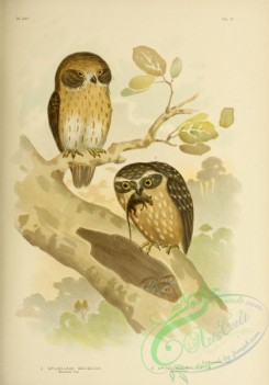 owls-00275 - Boobook Owl, Spotted Owl