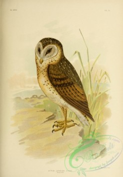 owls-00278 - Grass Owl