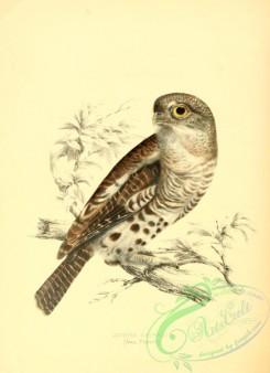 owls-00295 - athene capensis