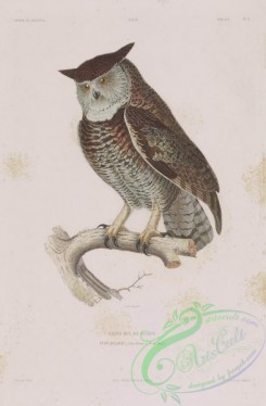 owls-00314 - bubo dillonii