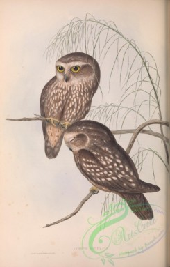 owls-00323 - Spotted Owl, athene maculata