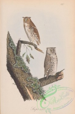 owls-00341 - 197-Mottled Owl, scops asio