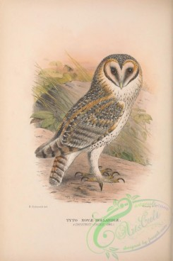 owls-00368 - 035-Chestnut-faced Owl, tyto novae-hollandiae